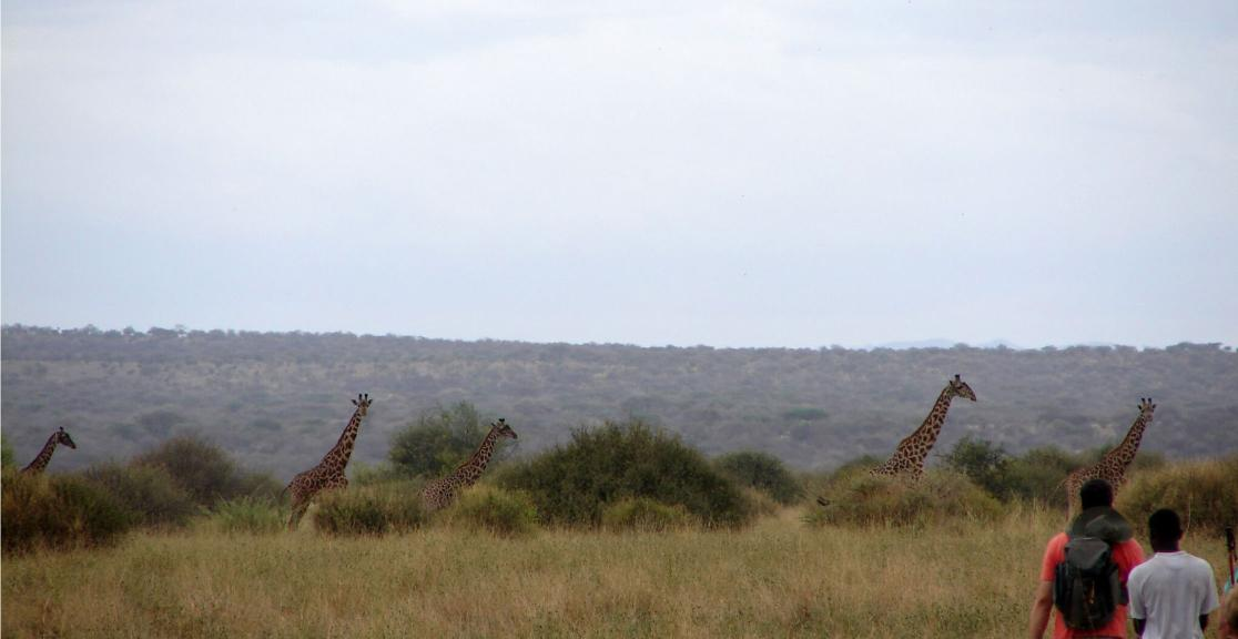 Trekking with giraffes in Tanzania - Day 3