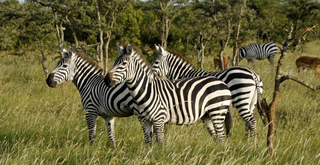 Cycle Kenya Zebras