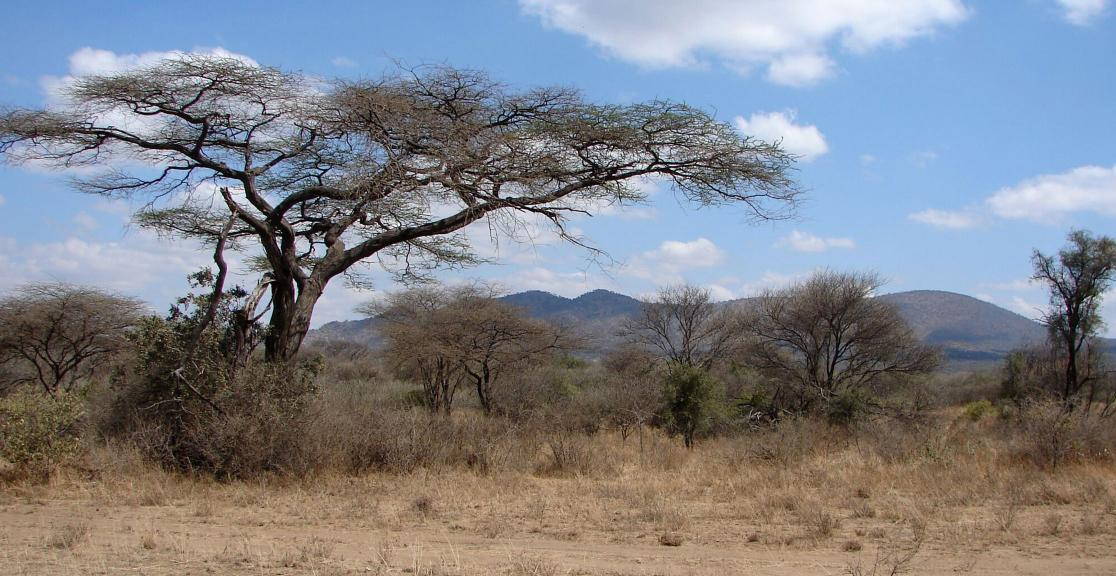 Rift valley bush