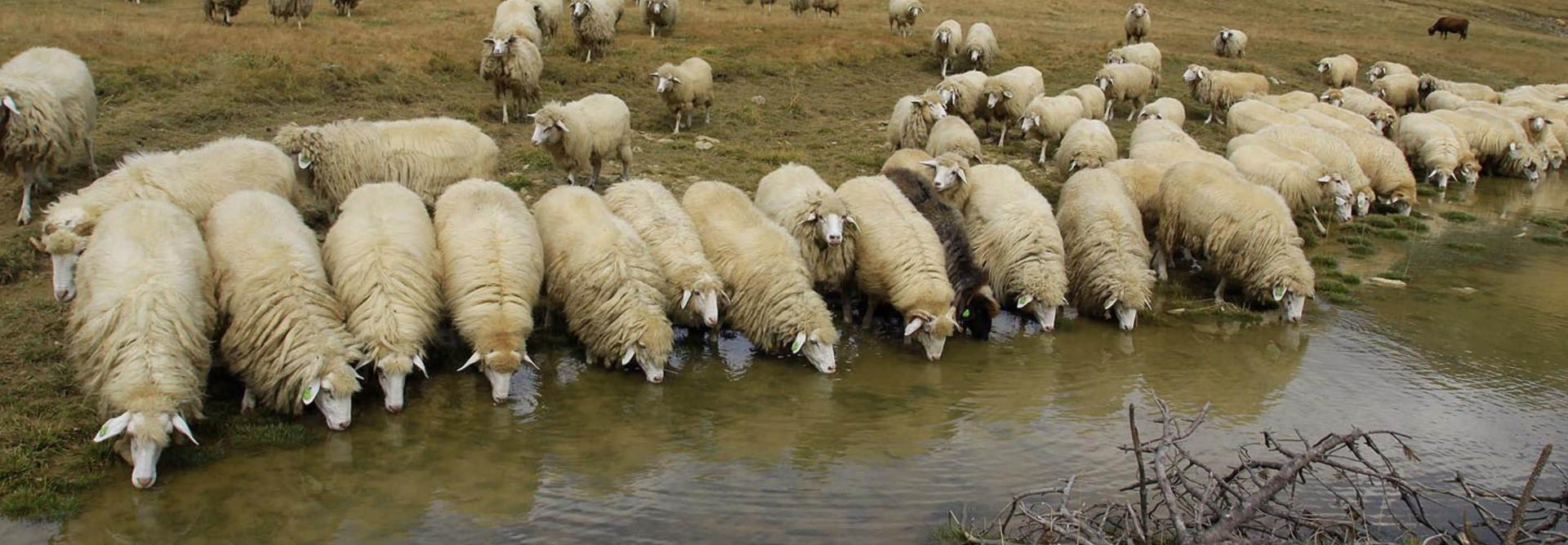 Trek Albania sheep